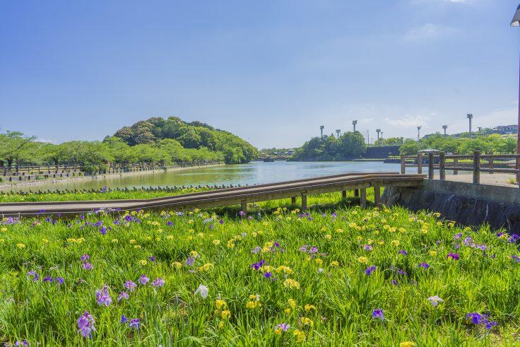 亀鶴公園のハナショウブ2