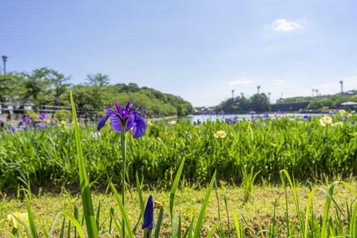 亀鶴公園のハナショウブ3