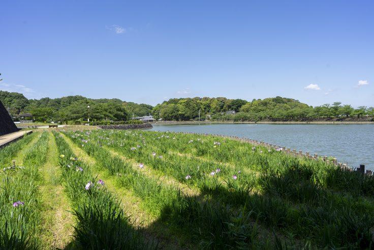 亀鶴公園のハナショウブ5