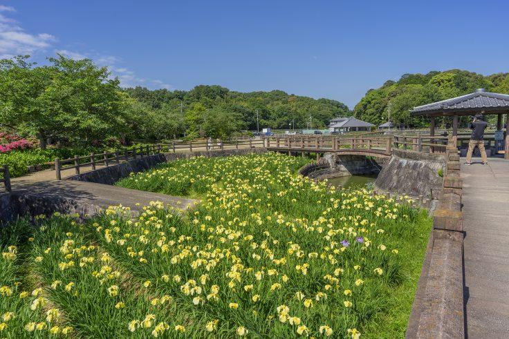 亀鶴公園のハナショウブ6