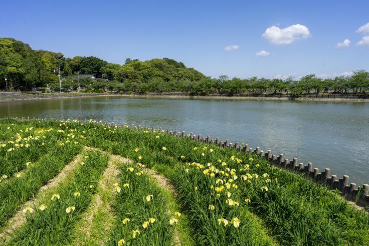 亀鶴公園のハナショウブ7