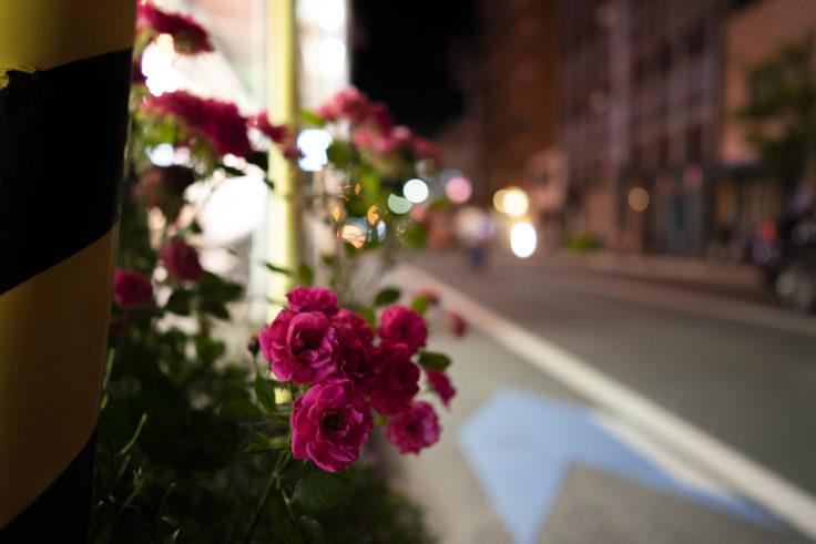 夜のバラ4