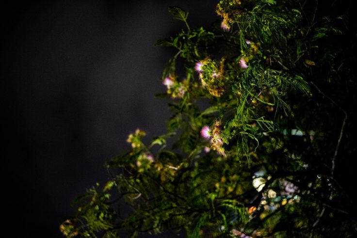 合歓木(ネムノキ)の花2