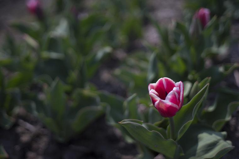 北島チューリップ公園の赤いチューリップ
