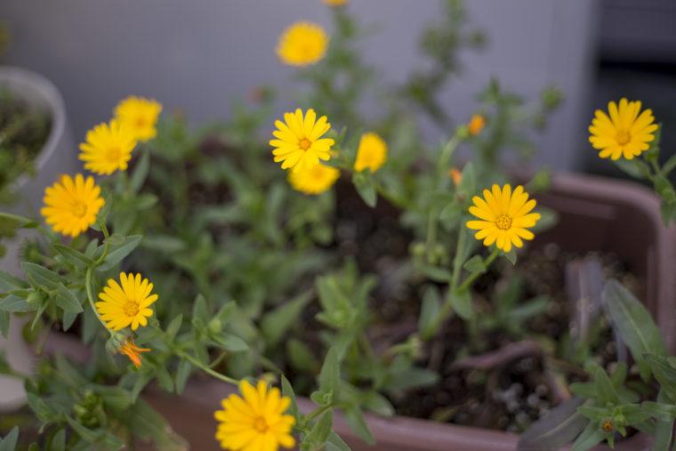 黄色のマーガレット