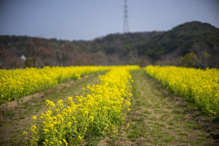 鳴門ウチノ海総合公園の菜の花