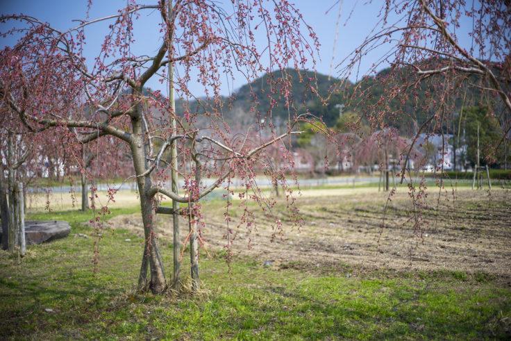 鳴門ウチノ海総合公園の枝垂れ桜