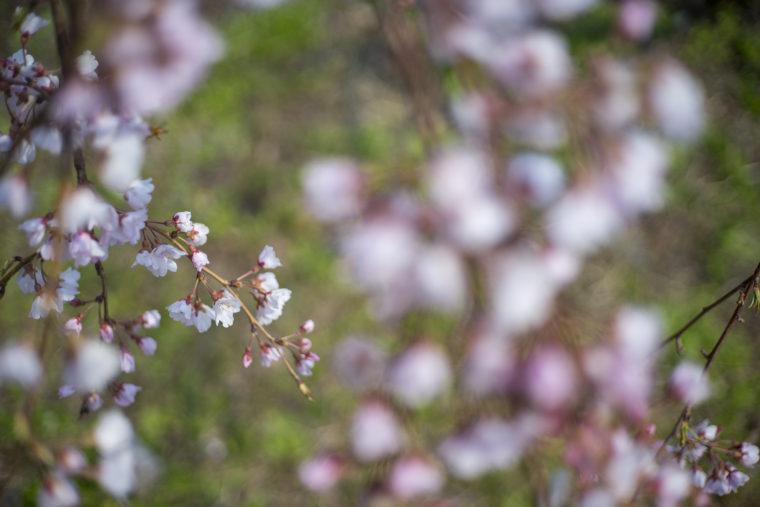 鳴門ウチノ海総合公園の桜