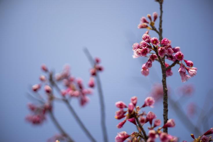 鳴門ウチノ海総合公園のピンクの桜
