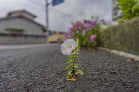 アスファルトから咲くペチュニア
