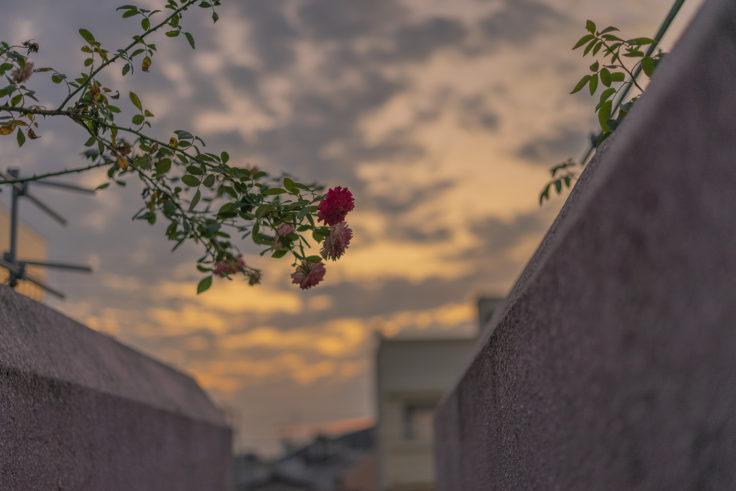 夕焼けとバラ