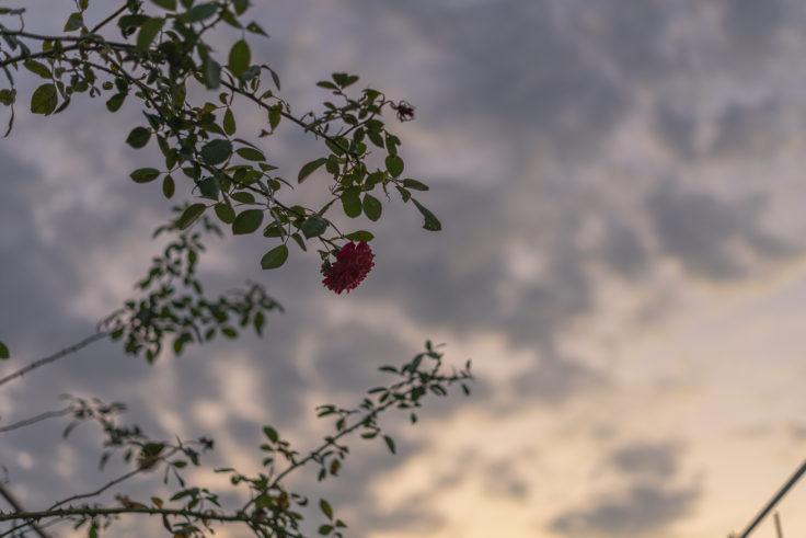 夕焼け空とバラ