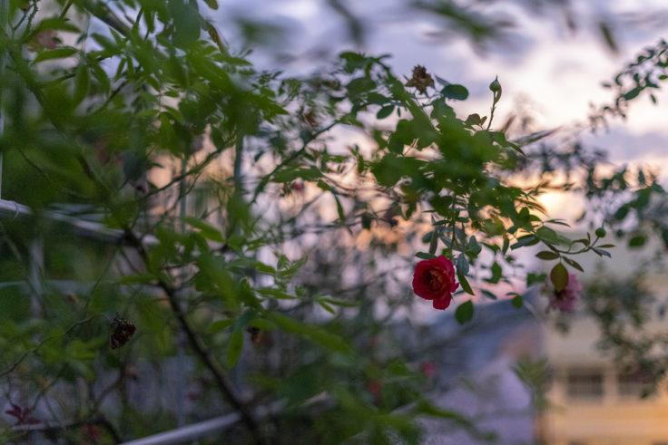 夕焼けのバラ2