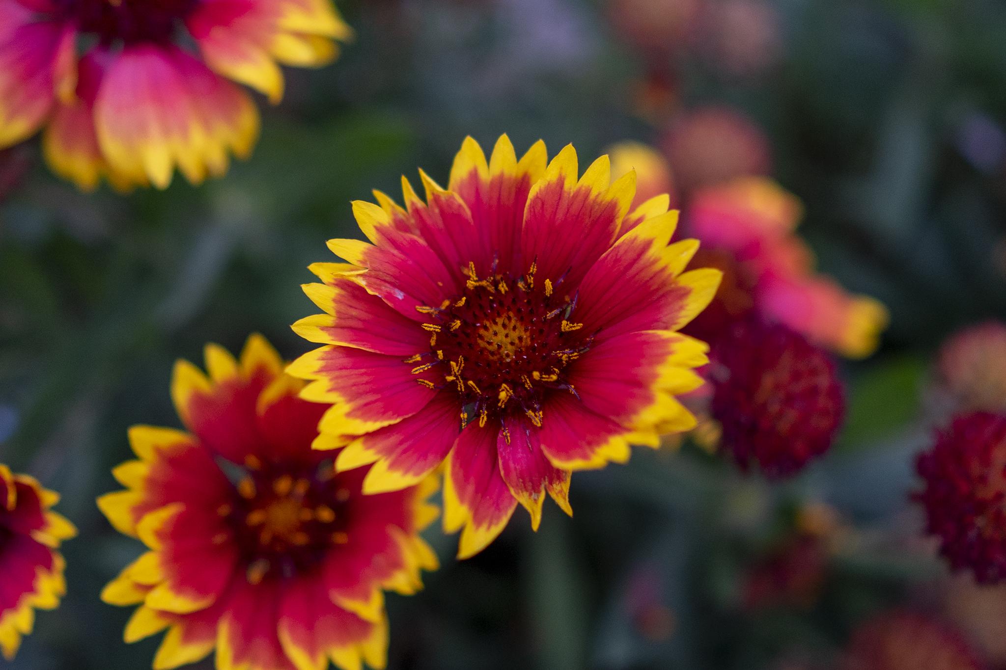 ガイラルディアの花言葉と誕生花