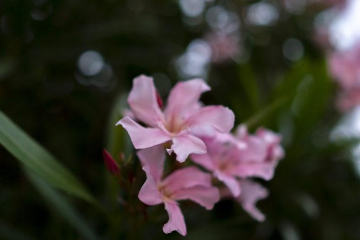 ピンクのキョウチクトウ
