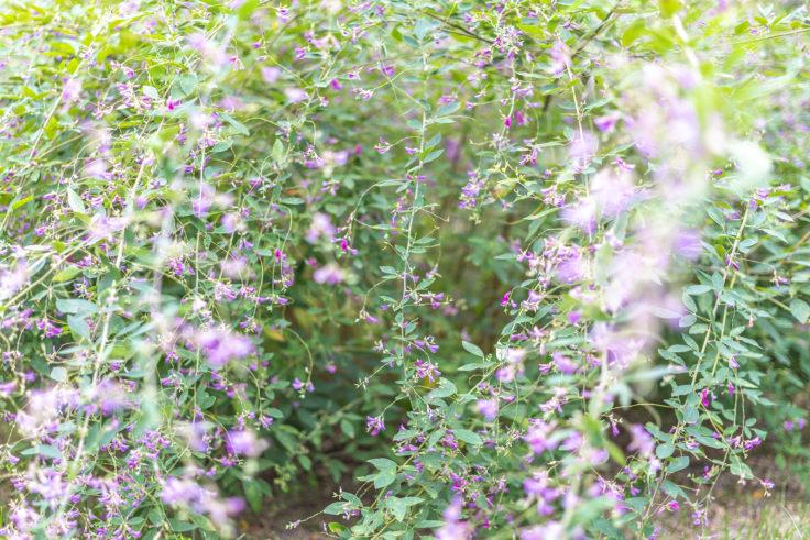 栗林公園のハギの花2