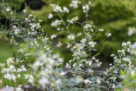 栗林公園の白いハギの花