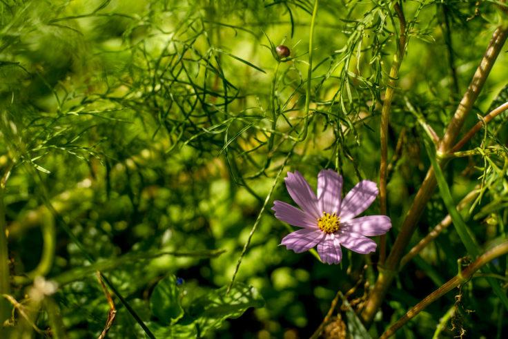 ウチノ海総合公園のピンクのコスモス