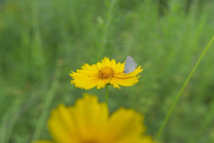 オオキンケイギクと蝶