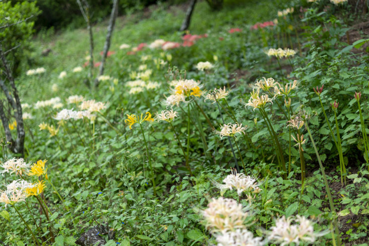 みろく自然公園の咲き誇る彼岸花