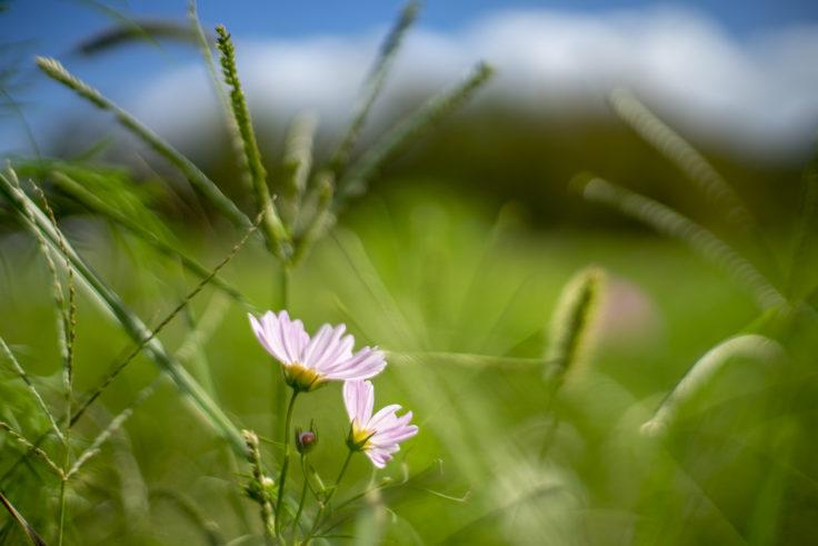 ウチノ海総合公園のピンクのコスモス2