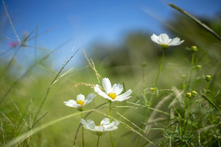 ウチノ海総合公園の白いコスモス