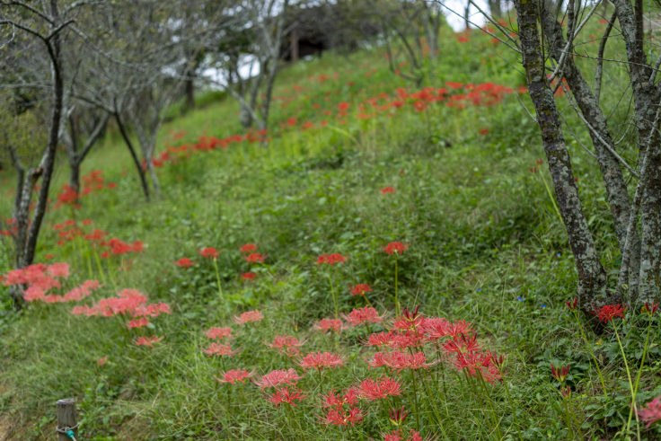 みろく自然公園の赤い彼岸花2