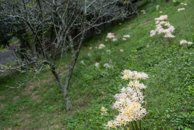 みろく自然公園の白い彼岸花2