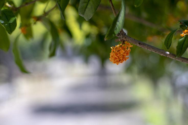 徳島大学のキンモクセイ