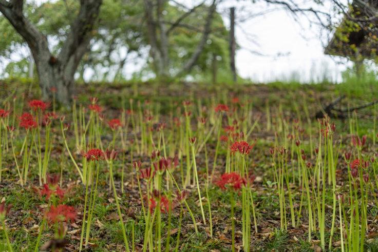 みろく自然公園のこれから咲く彼岸花