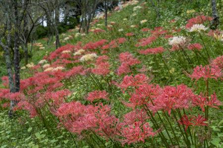みろく自然公園の咲き乱れる彼岸花