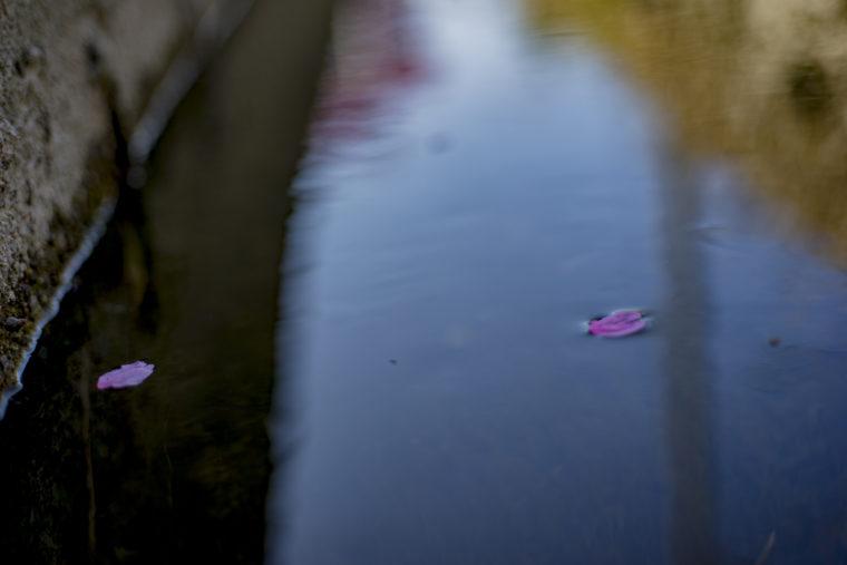 川を流れる桜の花びら
