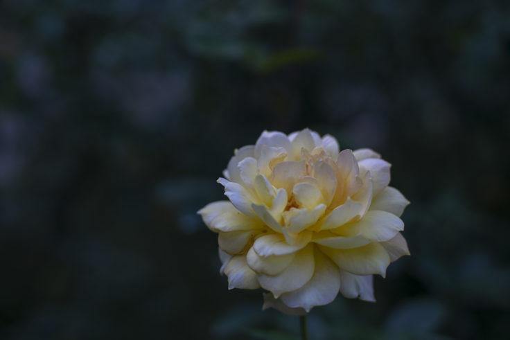 徳島中央公園の黄色のバラ