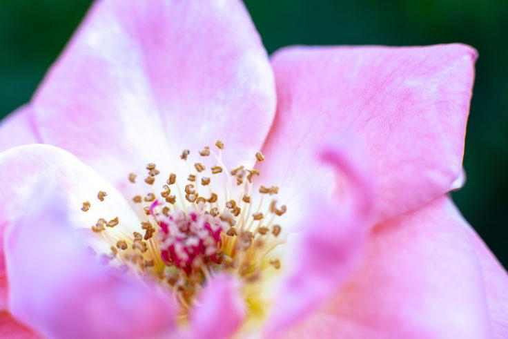 徳島中央公園のピンクのバラアップ