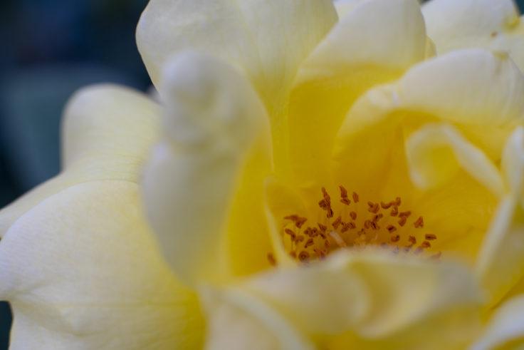 徳島中央公園の黄色のバラアップ