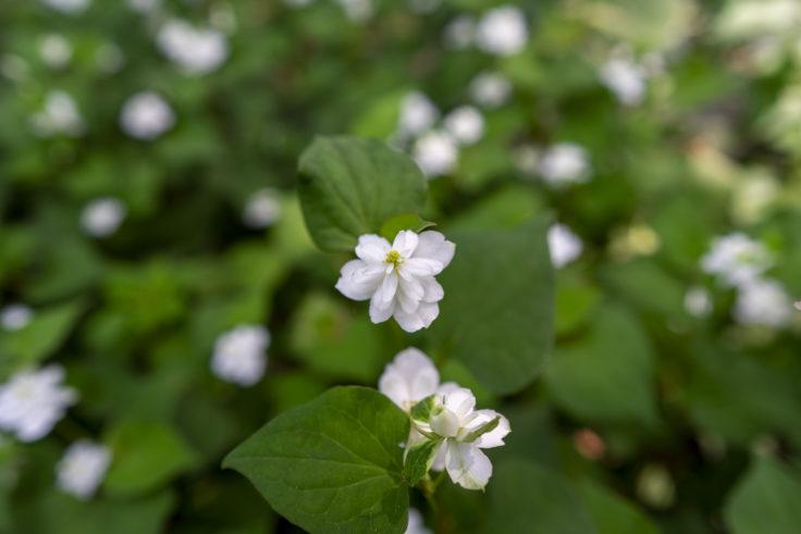 八重咲きのドクダミ2