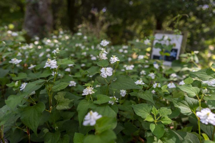 八重咲きのドクダミ3