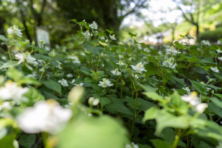八重咲きのドクダミ4