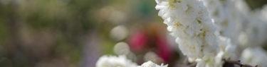 白い桃の花3