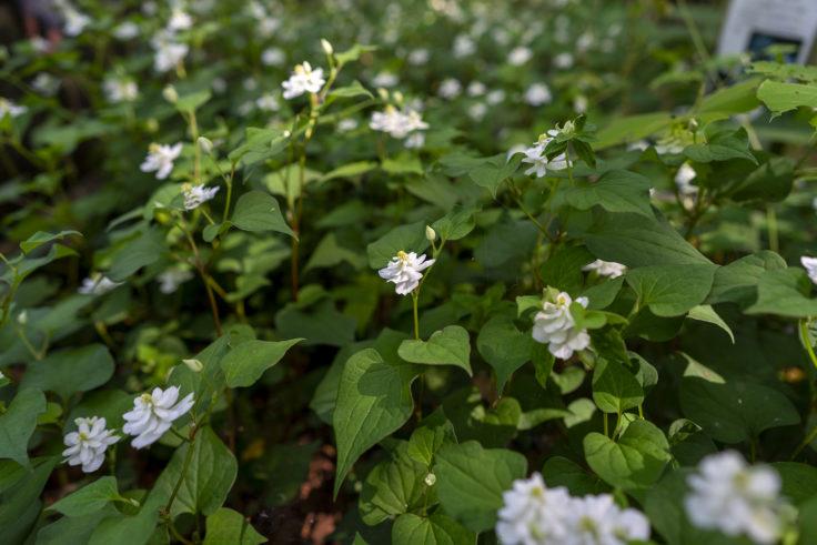 八重咲きのドクダミ5