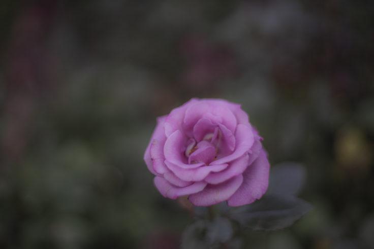 徳島中央公園のバラ・ラブポーション