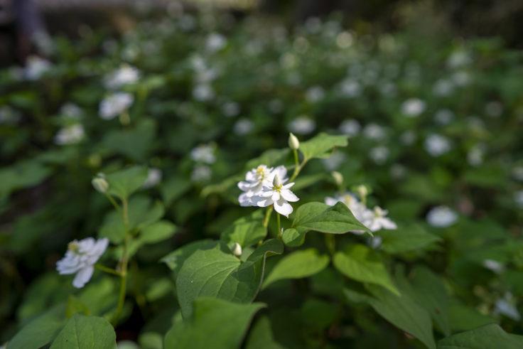 八重咲きのドクダミ7
