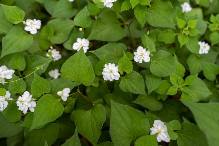 八重咲きのドクダミ8