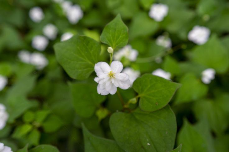 八重咲きのドクダミ9