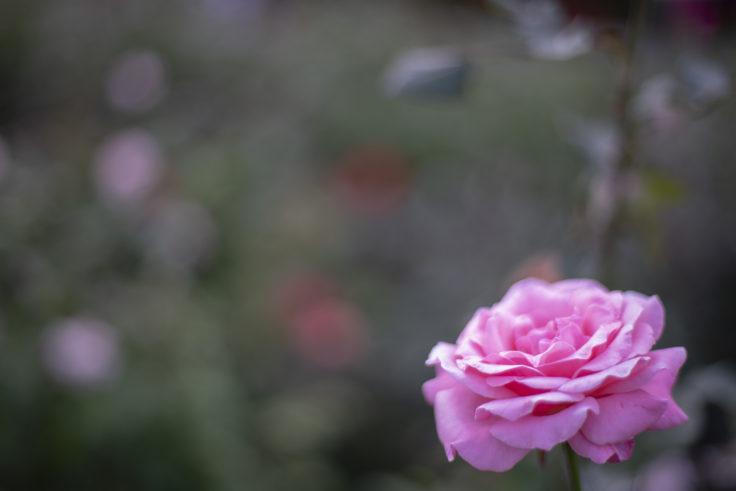 徳島中央公園のピンクのバラ