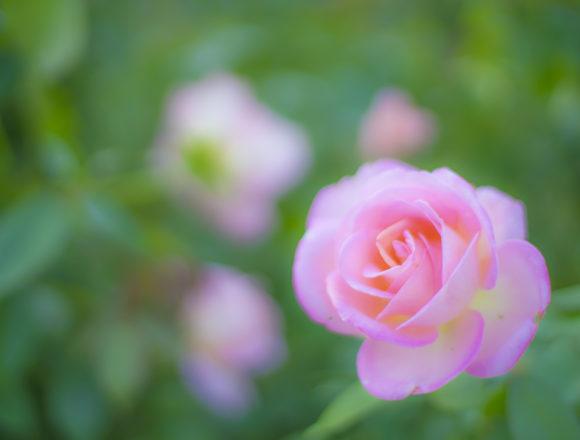 徳島中央公園のピンクのバラ2