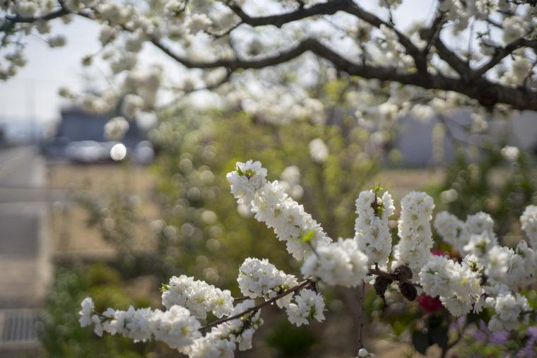 たわわな白い桃の花