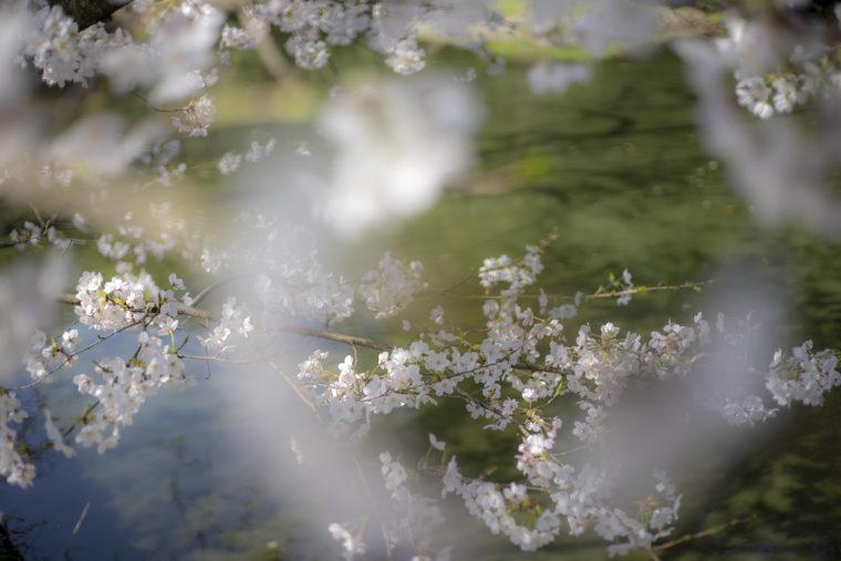 西湖の桜2
