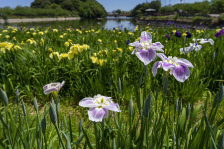 亀鶴公園のハナショウブ薄紫と黄色