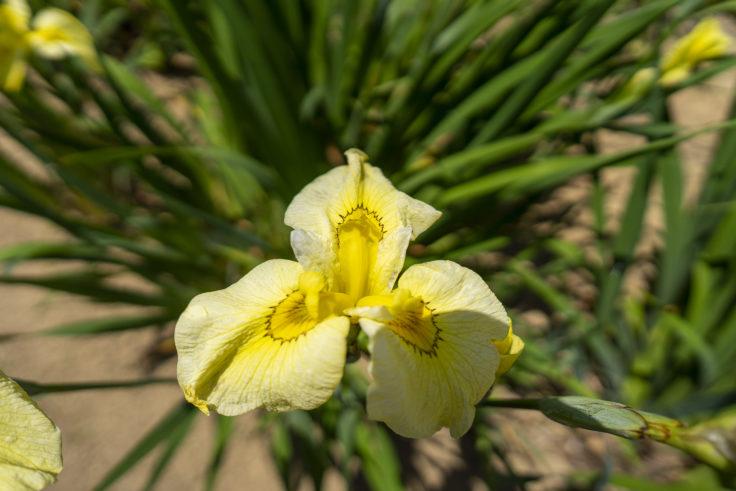 亀鶴公園のハナショウブ黄色